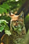 Charming Lynx