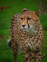 The Cheetah by TheEmpatheticCat