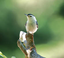 Nuthatch by photoquilter
