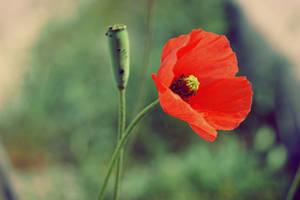 Poppy by Nowiika