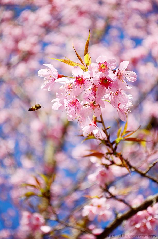 Sakura saku by Bellechan