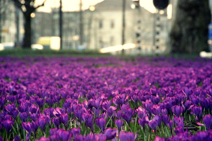A field of purple flowers by Tasha0228x on DeviantArt