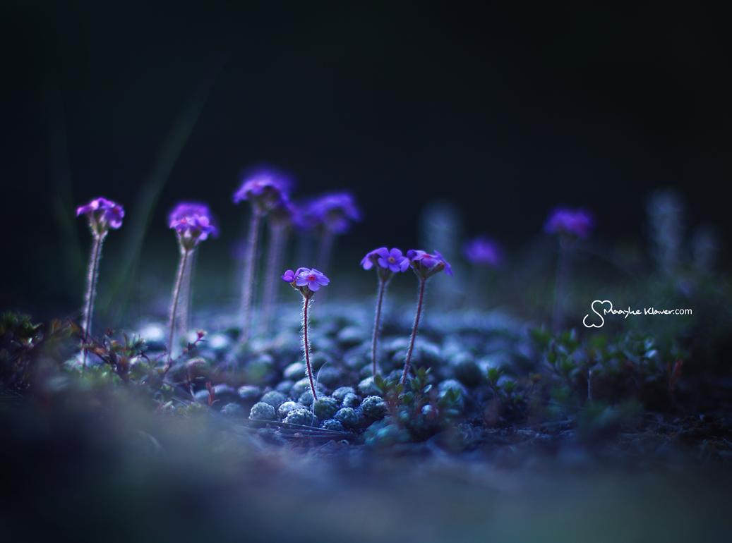 Himalayan Flowers by MaaykeKlaver