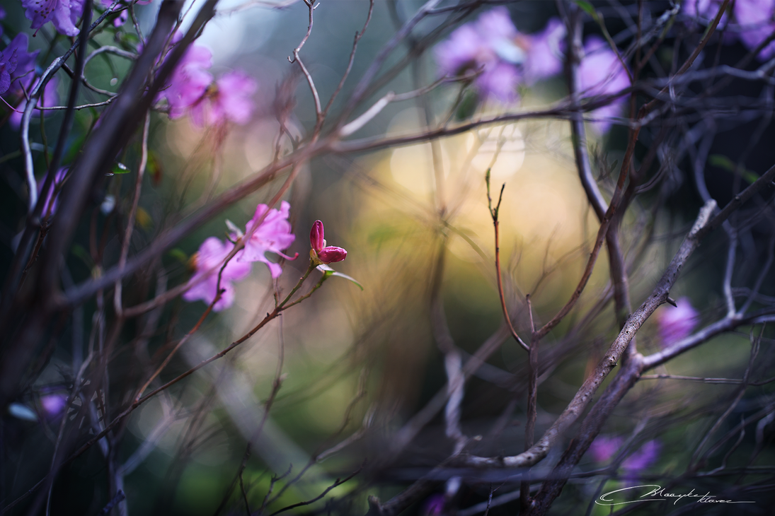 Of Flowers and Flower Buds by MaaykeKlaver