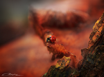 Ladybug of the forest