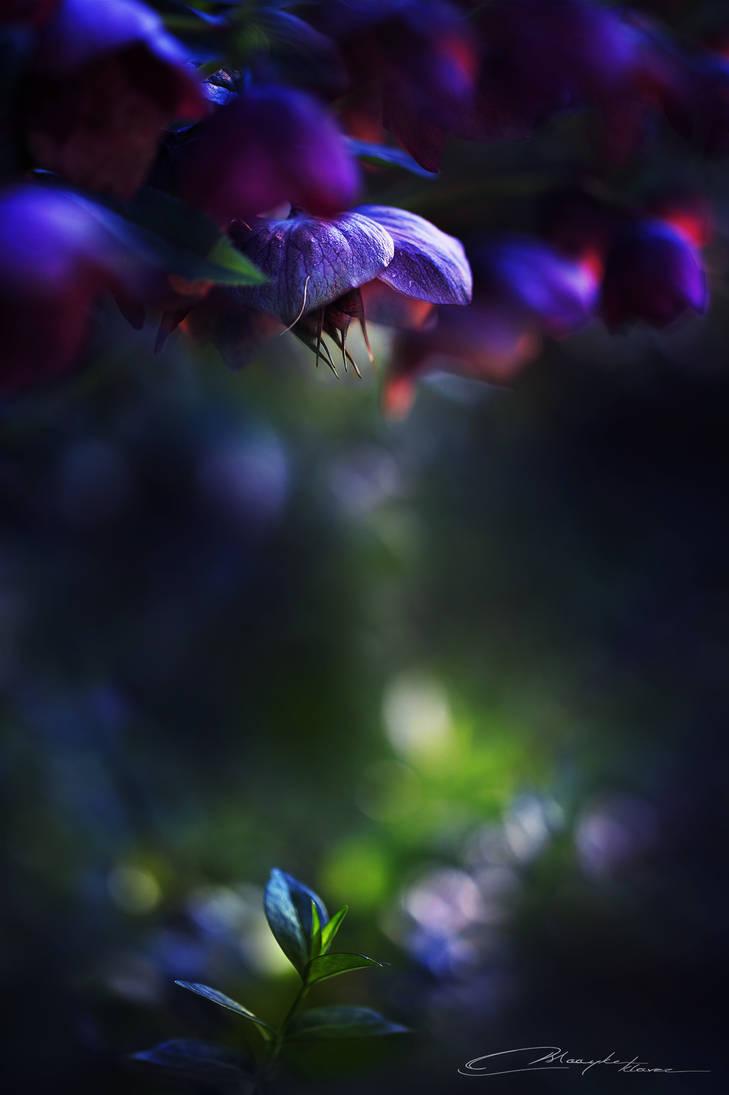 Midnight Flowers II by MaaykeKlaver