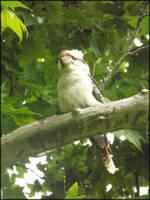 Kookaburra 01 by todo-mahem