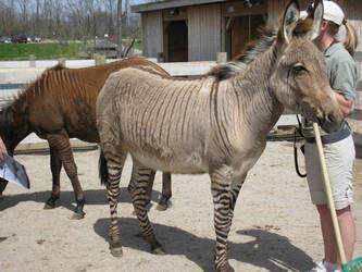 Zonkey and Zorse by Rennon-the-Shaved
