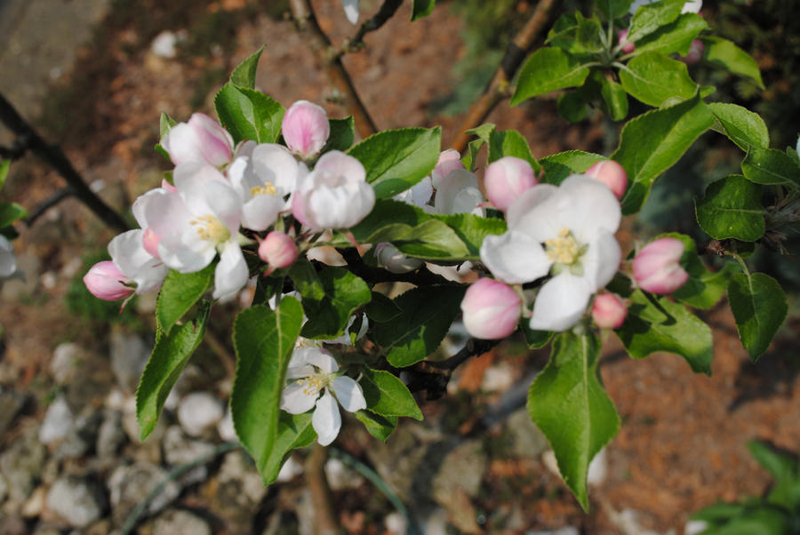 Apple Tree Flowers by Horselover60-Stock on DeviantArt