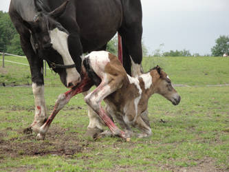 Newborn foal trying to standup by Horselover60-Stock