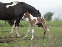 Standing Newborn Tobiano Foal by Horselover60-Stock