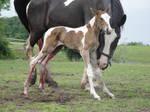 Standing Newborn Tobiano Foal