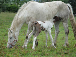 Drinking Chestnut Tobiano Foal by Horselover60-Stock