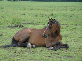 Lying bay pony by Horselover60-Stock