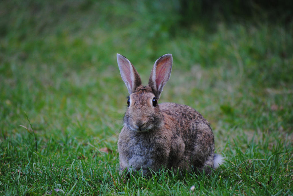 Wild Bunny by Horselover60-Stock