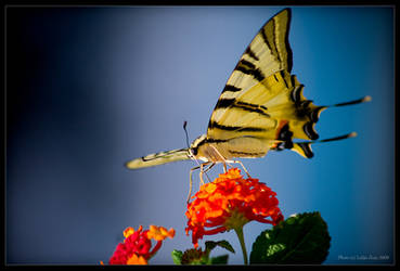 The swallowtail by Lidija-Lolic