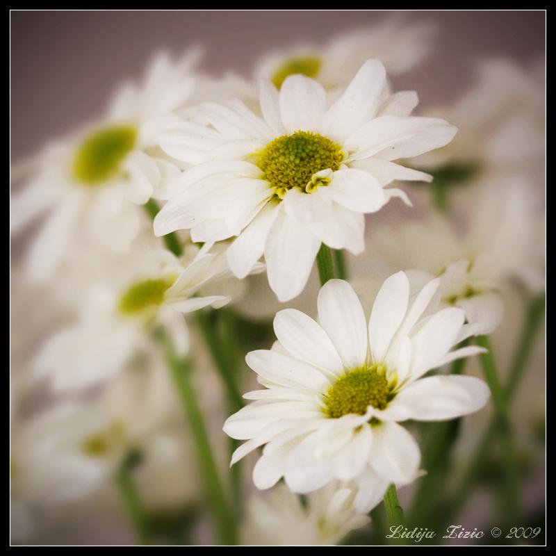 Pretty flowers by Lidija-Lolic