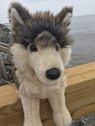 My Douglas Smoke Wolf