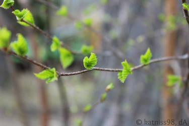 Birch Twig