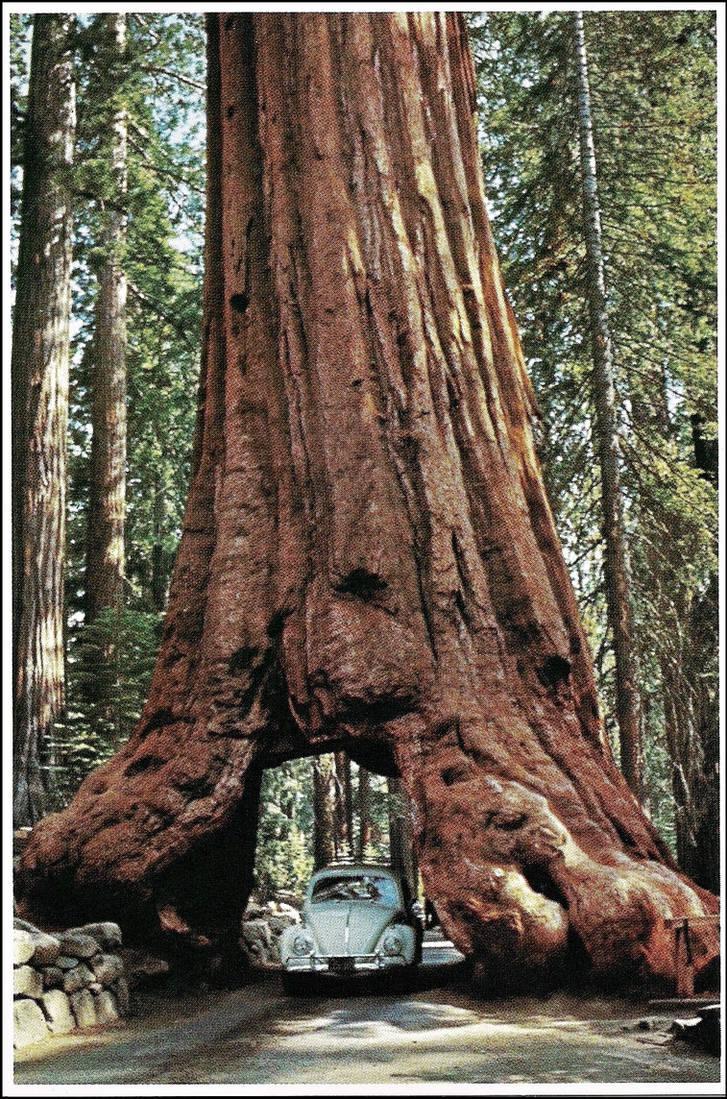 wawona_tree_by_haloeffect1_dd1r4py-pre.jpg