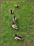 Gettng all your ducks in a row... by haloeffect1