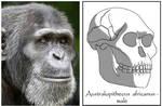 Australopithecus africanus - male
