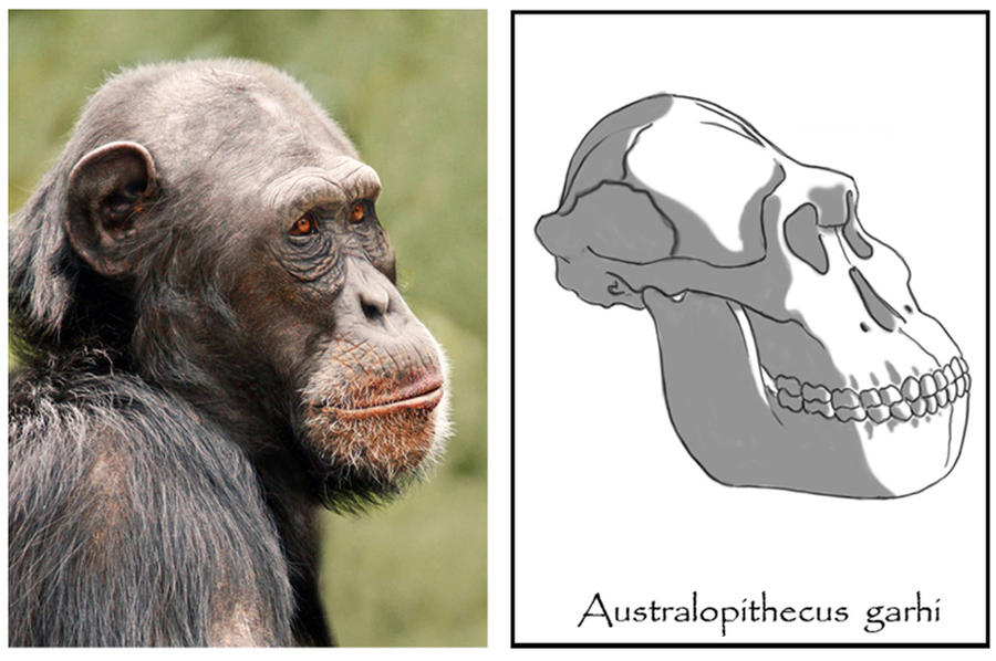 "maturation of australopithecus Australopithecus afarensis is a bipedal this allows us to understand how the scapula of au afarensis changes over the not ""pre-programmed"" maturation."