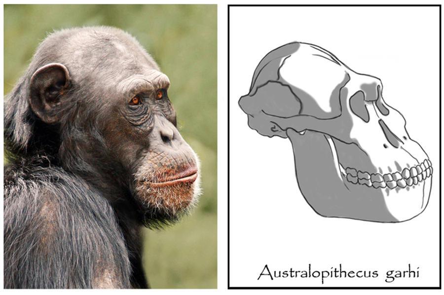 Resultado de imagen de Australopithecus garhi