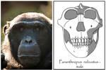 Paranthropus robustus - male