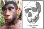 Homo ergaster - adolescent male (Turkana Boy)