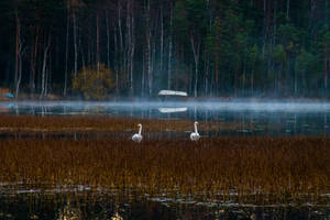 Two swans by mabuli