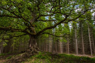 Old oak tree II by mabuli