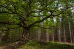Old oak tree II
