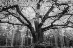 Old oak tree III by mabuli