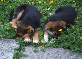 Puppies by xbloodyromance