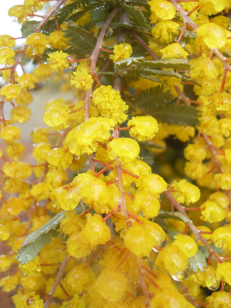 Morning Wattle by x-Katus-x