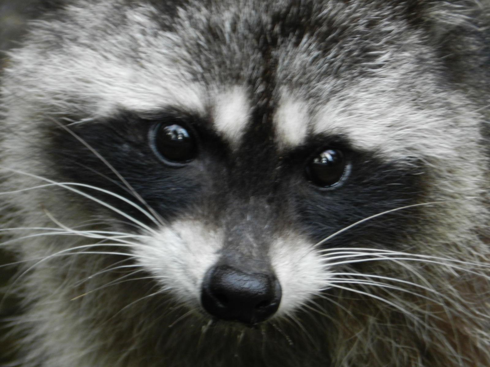 Raccoon Face by JMondryPhotography on deviantART Raccoon Face