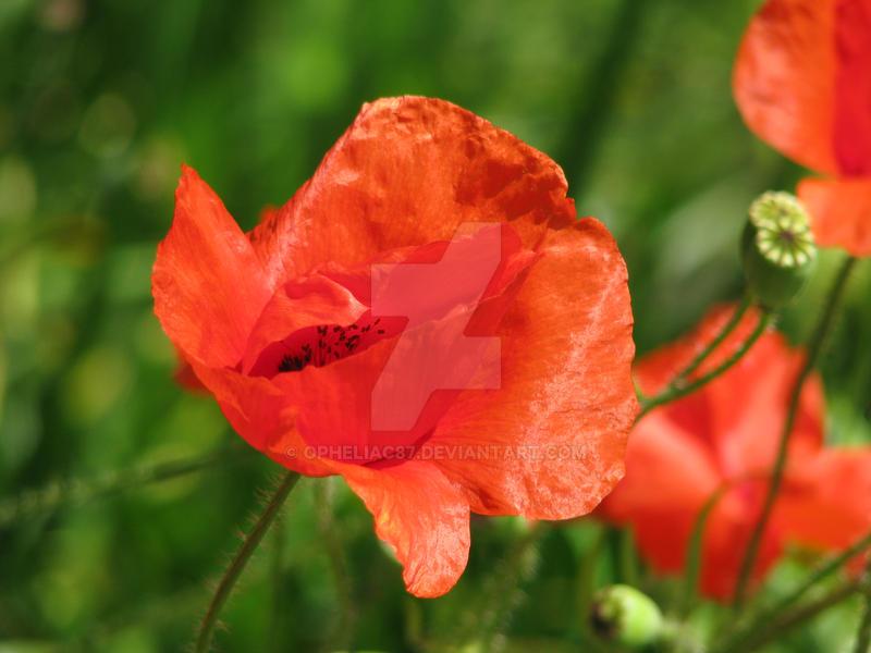 poppies by opheliac87