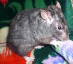 My rat, Rex 3