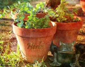 Herbs green and growing