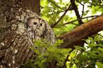 Tawny owl by josefinej-nature