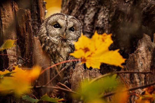Sigrid autumn