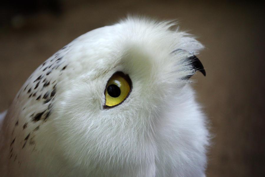 Snowy owl by Vefantur