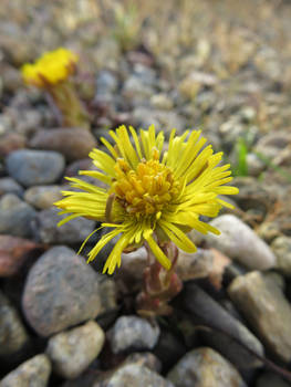 Coltsfoot in Gravel