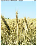 Wheat by umerr2000
