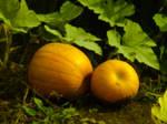 Mama and baby pumpkin