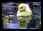 Very little duck