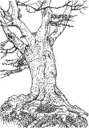 Tree study: Hutebuche 1