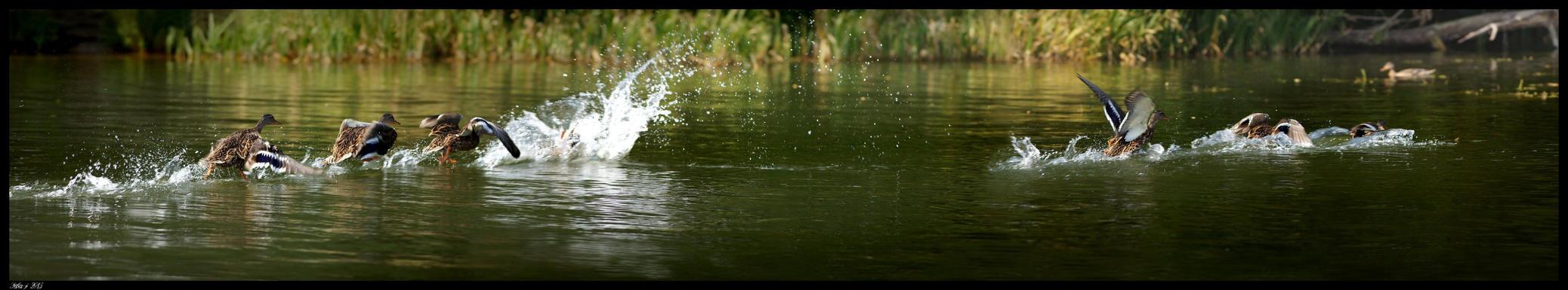 Duck panorama by seba-j