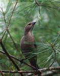 Bird in Pine